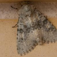 Moth at John and Carols