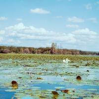 Pelican on Lake Naivasha - 1963