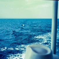 Dolphin on trip from Alexandroupolis to Samothraki