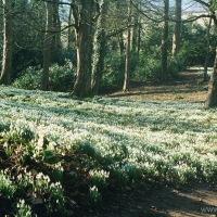 Snowdrops at Painswick