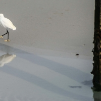 Egret on Vazon bay, Guernsey