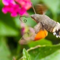 Hummingbird Hawk Moth in Mèze