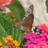 Hummingbird Hawk Moth, Mèze, France, 2009