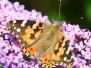 2009 Butterflies at home
