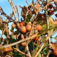 Oak apples , 2010