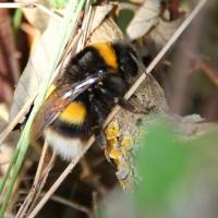 Guernsey bee, 2010