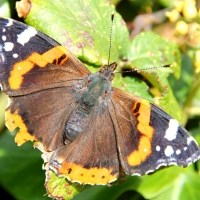 Chewed Red Admiral, 2010