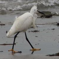 Egret, Vazon Bay, Guernsey, 2010