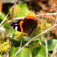 Red Admiral butterfly, Guernsey, 2010