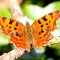 Comma butterfly, Guernsey, 2010