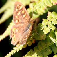 Wall Brown butterfly, Guernsey, 2010