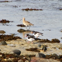 Curlew and Oyster Catchers, Baie des Pequeries, Guernsey, 2010