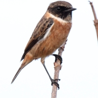 Guernsey, Stonechat, male