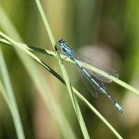 Common Bluet, Common Blue Damselfly, Enallagma cyathigerum