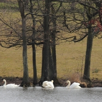 Swans at Wotton Underwood