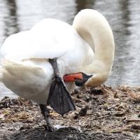 Swan at Wotton Underwood