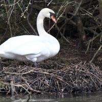 Nesting Swan at Wotton Underwood