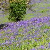 Malverns Display of Blue Bells - 25th May 2013