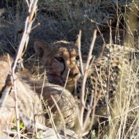 Cheetah eating a Kudu
