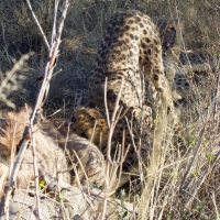 Cheetah eating a Kudu
