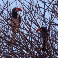 Orange Hornbill