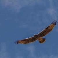 Twyfelfontein, Namibia  Juvenile Verreaux's Eagle