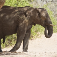 Namibia Huab River elephant drive