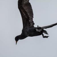 Walvis bay Cape Cormorant