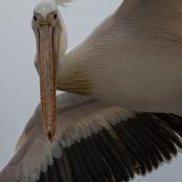 Walvis bay Cape Pelican