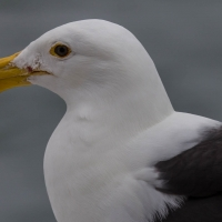 Boat trip from Walvis Bay- Gull