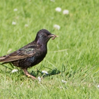 Clickhimin Broch, Starling