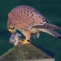 Kestrel eating