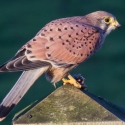 Kestrel eating