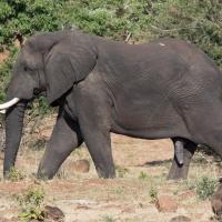 Elephant, Male