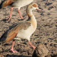 Eygyptian Geese