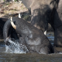 Elephant on the Chobe