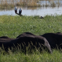 Elephant and Fish Eagles on the River Chobe