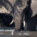 Elephant on the Chobe