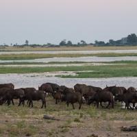 Buffalo on the Chobe