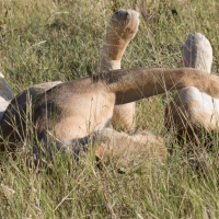 Two lion playing