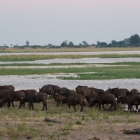 Buffalo on the Chobe
