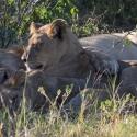 Three Lion