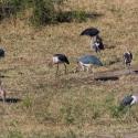 Marabu storks