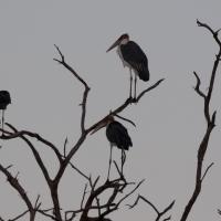 Marabou Storkes roosting