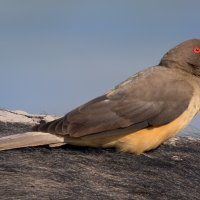 Yellow billed oxpecker