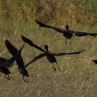 Spur-winged Geese
