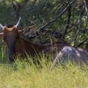 Tsebe Antelope
