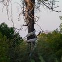 Phython climber vine