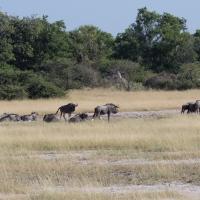 Wildebeest and Warthog