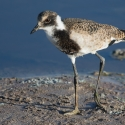 Juvenile Blacksmith Plover